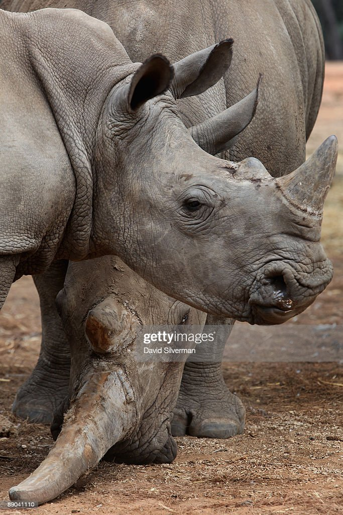 A white rhinoceros and her calf graze at the Safari Park on July 15, 2009 in Ramat Gan, Israel. As few as 18,000 of this threatened species could remain as recent environmental reports charge that rhino poaching in Africa and Asia is about to hit a 15 year high to meet the demand for their horns which are believed to have medicinal value in some countries.