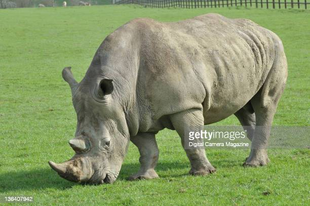 A white rhinoceros at Longleat safari park Warminster April 5 2011