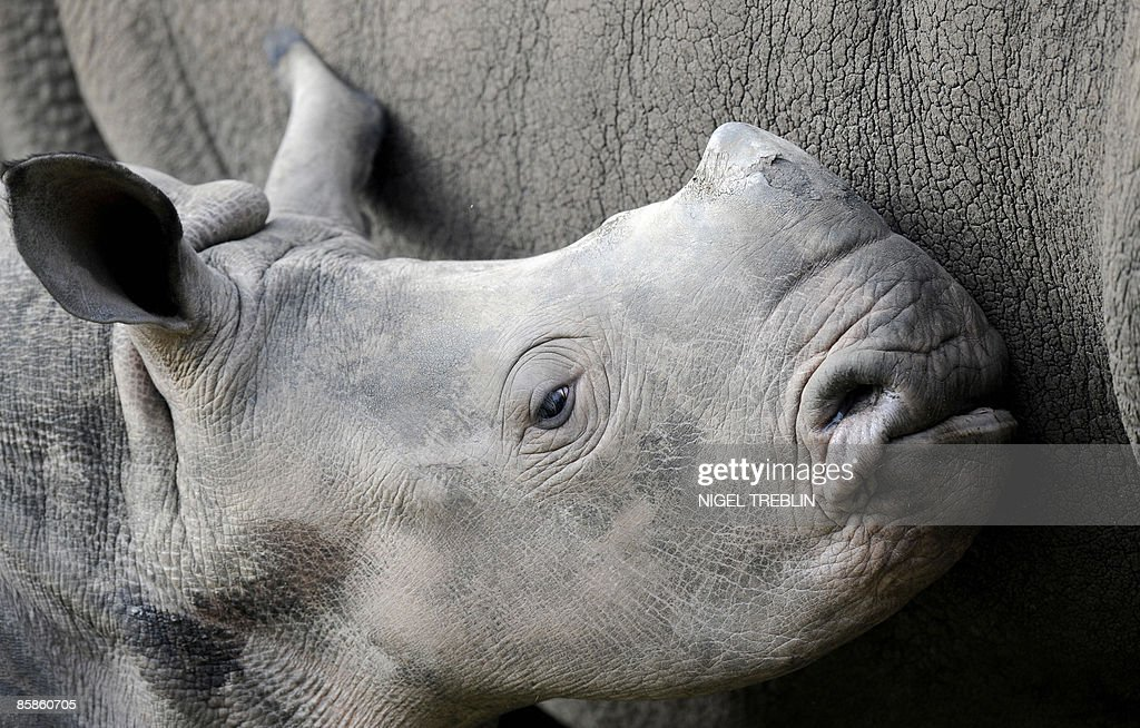 White rhinoceros baby Naruna explores together with its mother Rebeccer its enclosure at the Serengeti Park in Hodenhagen, northwestern Germany, on April 8, 2009. Naruna was born on November 22, 2008 at the park.