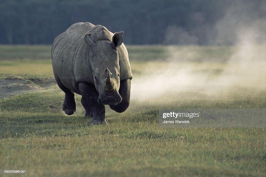White rhinoceros (Ceratotherium simum) charging : Stock Photo