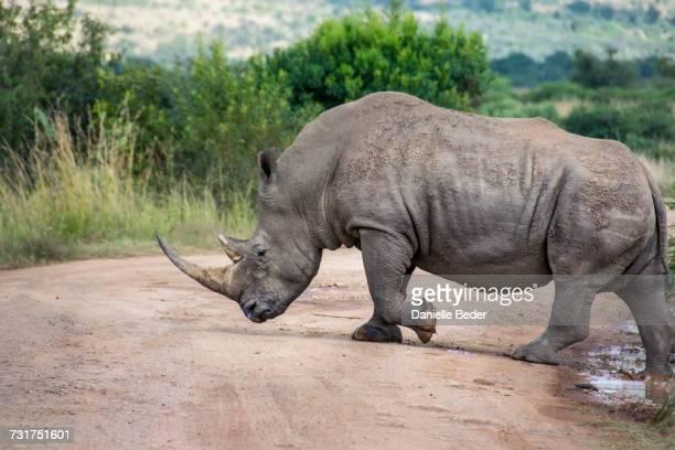 White Rhinoceros crossing dirt road, South Africa