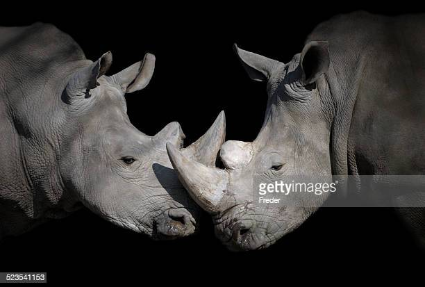 white rhinoceros encounter