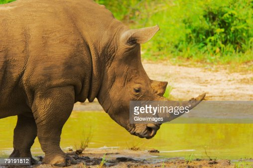 White rhinoceros (Ceratotherium simum) in a forest, Motswari Game Reserve, South Africa : Stock Photo