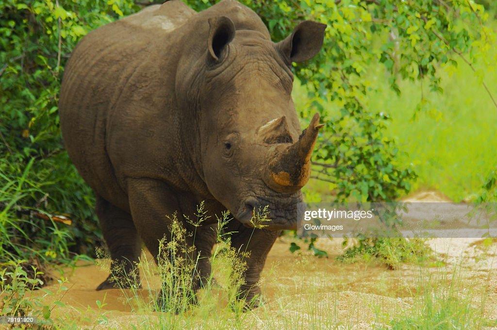 White rhinoceros (Ceratotherium simum) in a forest, Motswari Game Reserve, South Africa : Foto de stock