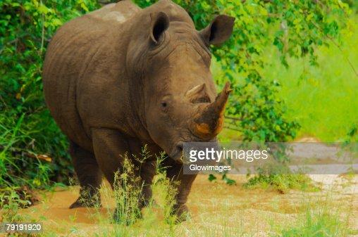 White rhinoceros (Ceratotherium simum) in a forest, Motswari Game Reserve, South Africa : Stock Photo