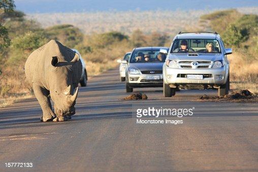 Rinoceronte bianco nel parco Kruger, Sudafrica