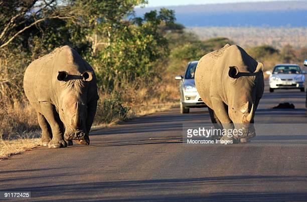 Rhinocéros blanc de Kruger Park, Afrique du Sud