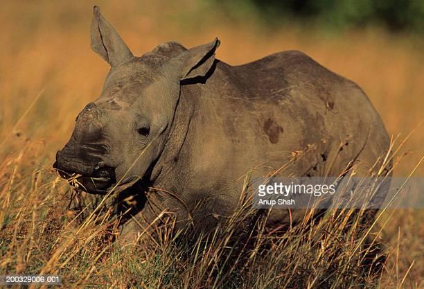 White rhinoceros (Ceratotherium simum) in long grass, Kenya