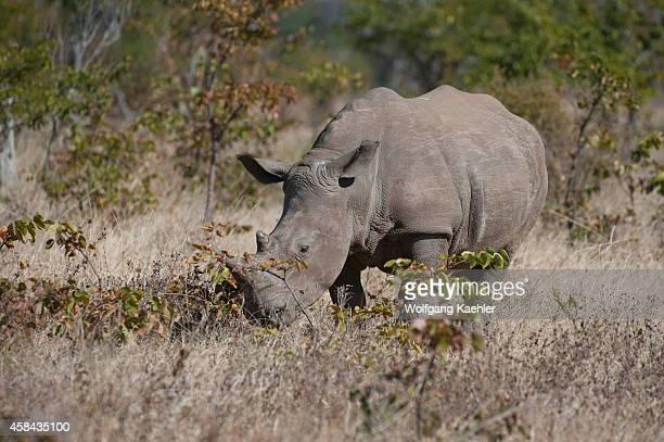 White rhinoceros in MosioaTunya National Park near Livingston in Zambia