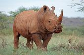 """A white rhinoceros (Ceratotherium simum) in natural habitat, South Africa""""r"""