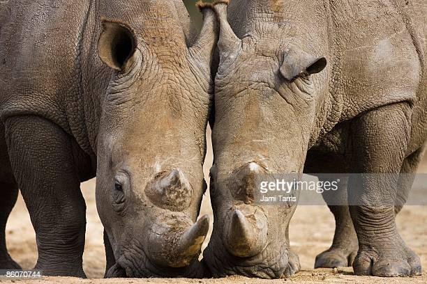 White rhinoceros (Ceratotherium simum), Kenya