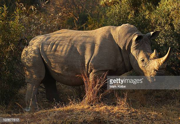 White Rhinoceros marks it's territory at Pilanesberg National Park on June 2010 in Rustenburg South Africa Situated adjacent to Sun City Pilanesberg...