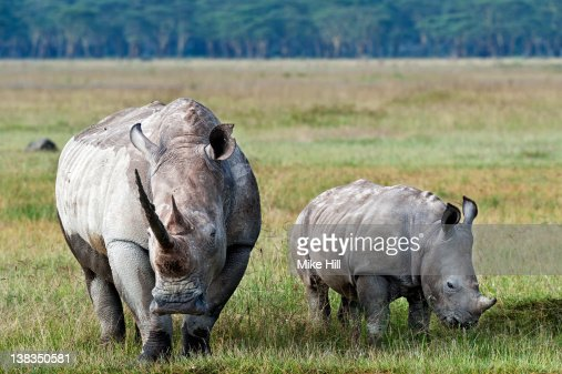 White Rhinoceros, Mother and Young,(Ceratotherium : Stock Photo