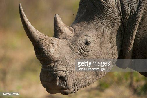 A White Rhinoceros or Rhino : Stock Photo