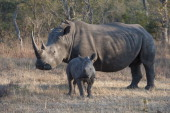 White rhinoceros or squarelipped rhinoceros female with 6 months old baby in the Sabi Sands Game Reserve adjacent to the Kruger National Park in...