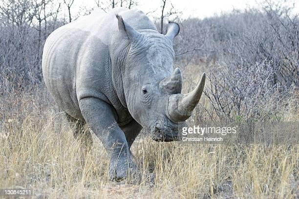 White Rhinoceros or Square-lipped rhinoceros (Ceratotherium simum), Khama Rhino Sanctuary Park, Serowe, Botswana, Africa