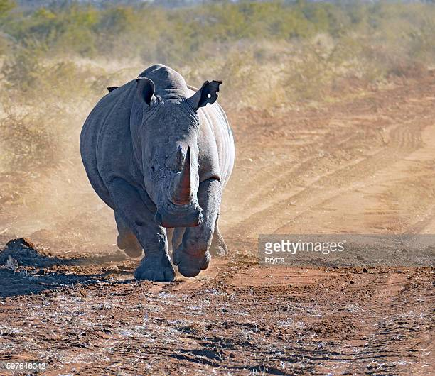 White rhinoceros running in Madikwe Game Reserve, South Africa