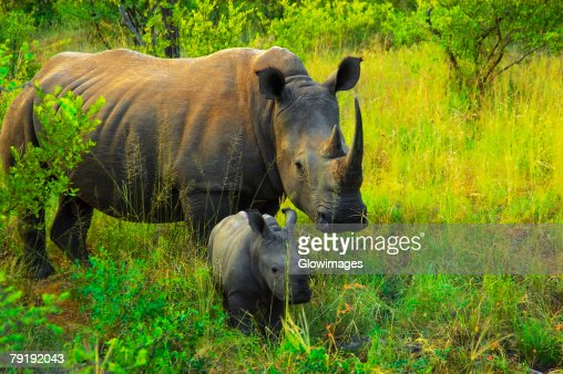 White rhinoceros (Ceratotherium simum) with its calf in a forest, Makalali Game Reserve, South Africa : Stock Photo