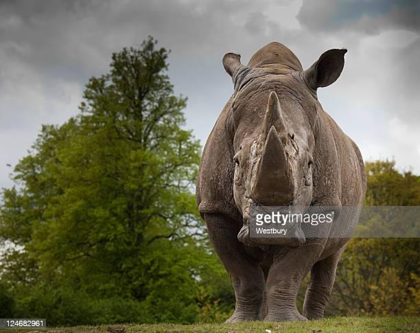 Rhinocerous blanco