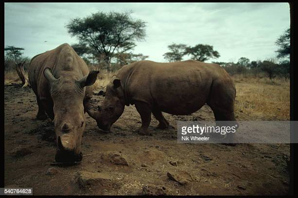 White rhinos graze at Kenya's Meru National Park The rhinos an endangered species have been victims of widespread poaching on park lands 1982