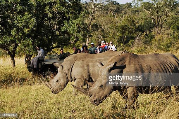 White rhinos grazing in prairie