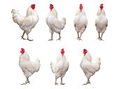 White Rooster, Cock or Chicken isolated on a white background collection, pack or set.