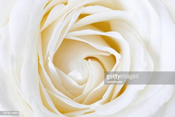 White rose のクローズアップ