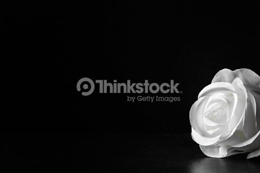 White rose flower on the dark background. Condolence card. Artificial flower. Empty place for a text. : Stock Photo