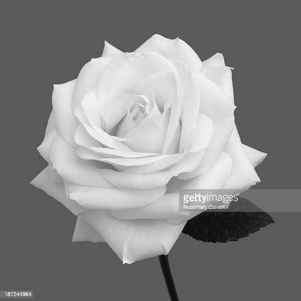 White rose in shades of grey