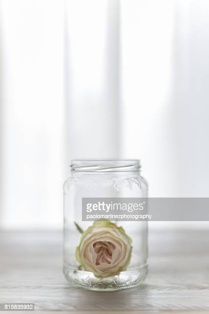 White rose into glass jar on table