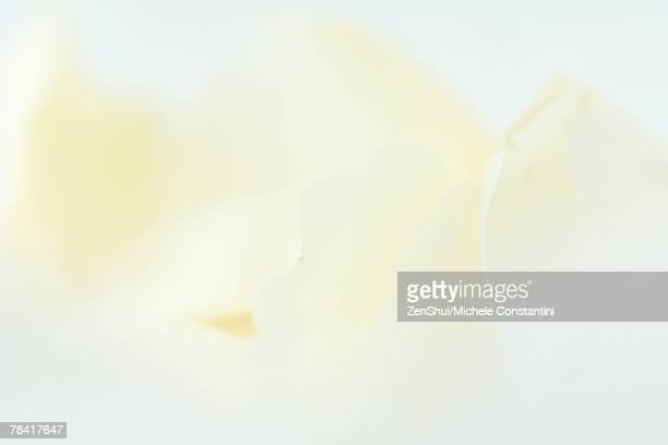 White rose petals, extreme close-up