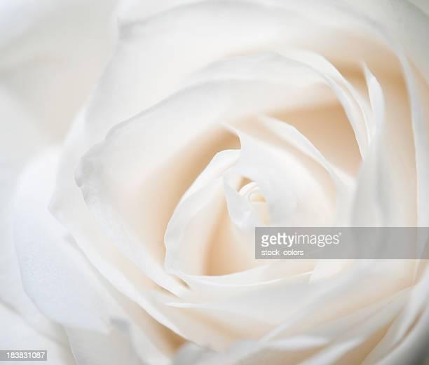 rose blanc