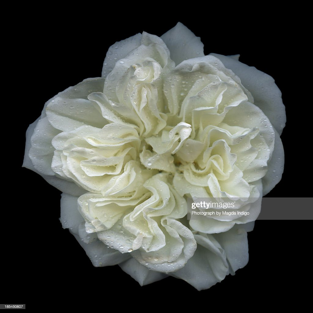 White rose : Stock Photo