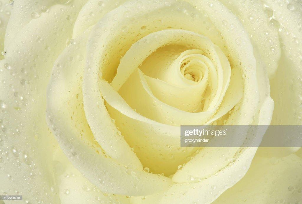White rose : Stock-Foto