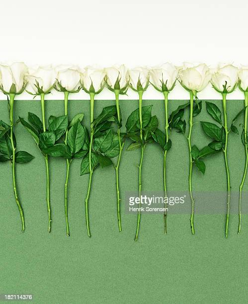 White roses in a row