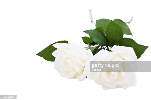 Roses blanches (XL