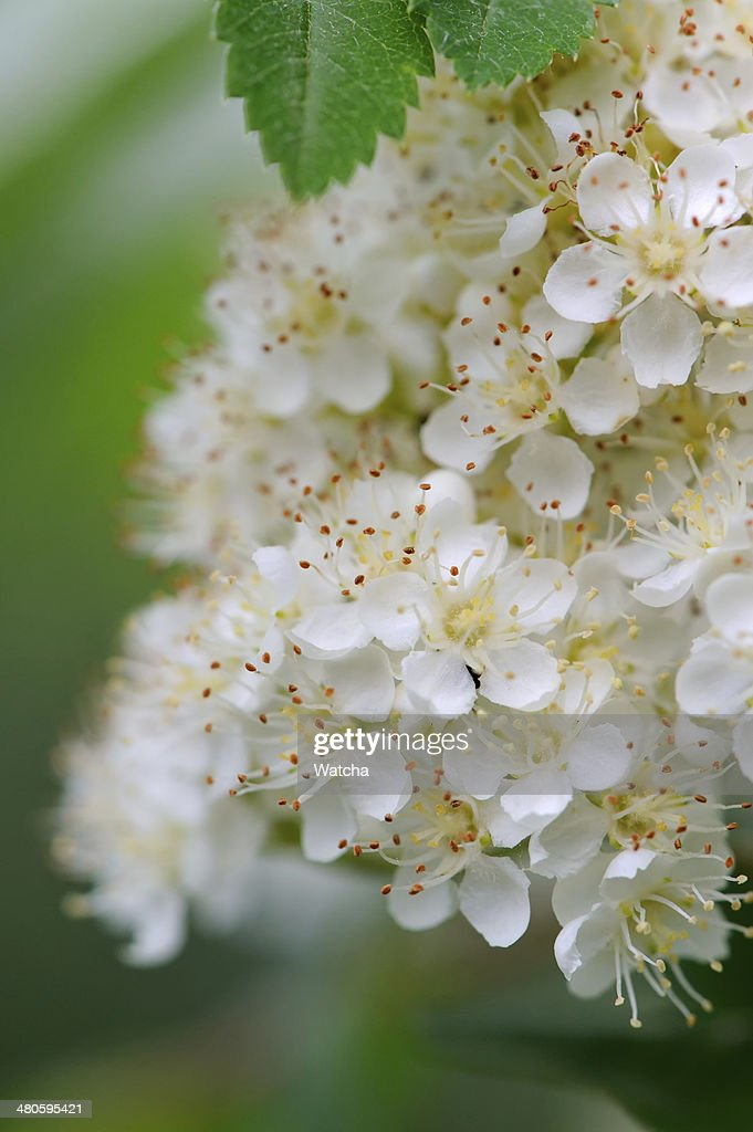 White Rowan Flowers Close-Up : Stock Photo