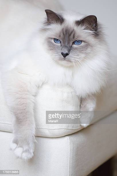 White sacred birman cat with blue hanging on couch