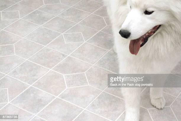 White samoyed dog on white floor