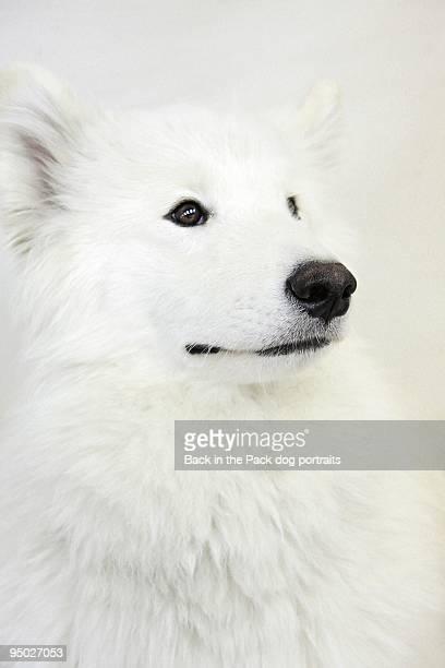 White samoyed dog sitting