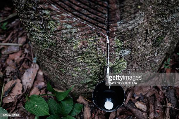 White sap drops from a rubber tree into a cup set by rubber tapper Raimundo Pereira in a forest in Xapuri Acre State in northwestern Brazil on...