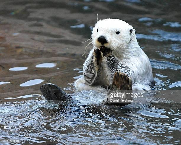 White Sea Otter