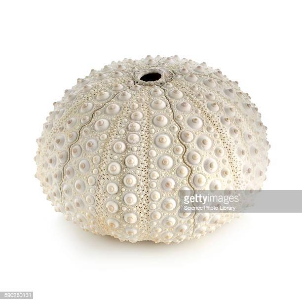 White sea urchin shell