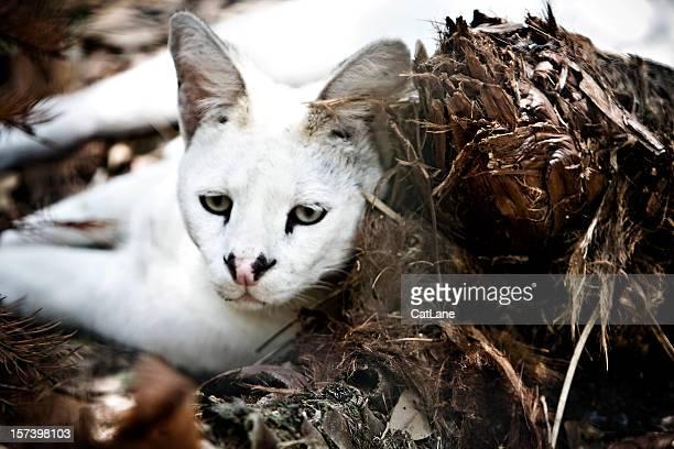 Weiße Serval