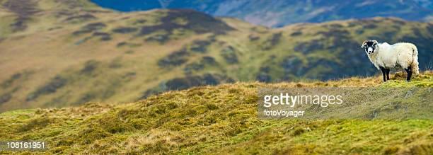 White Sheep on Green Mountain Top