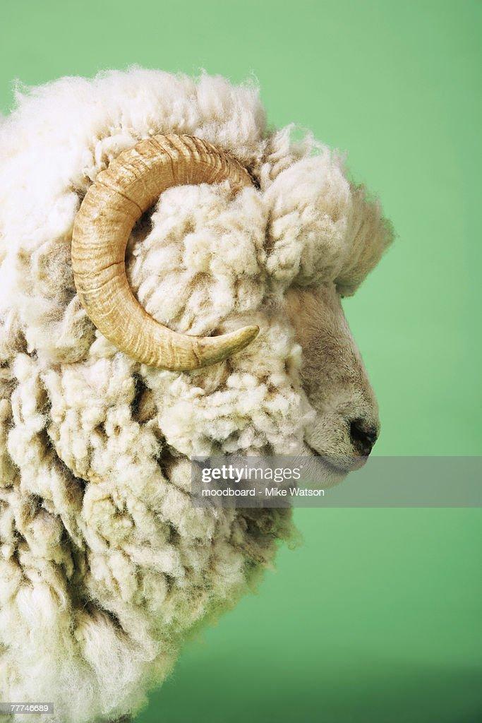 White Sheep's Head