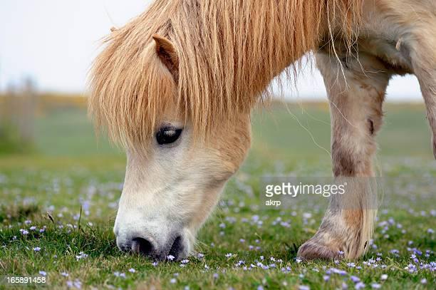 White Shetland Pony Grazing