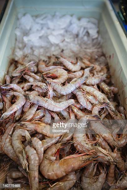 White shrimp sit over ice at a seafood market where fresh Gulf Coast seafood is sold daily in Westwego Louisiana US on Monday March 5 2012 BP Plc may...