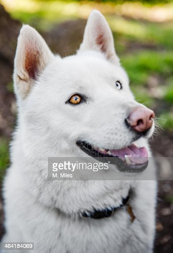 white husky dog for - photo #36