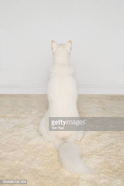 White Siberian husky sitting on white rug, rear view